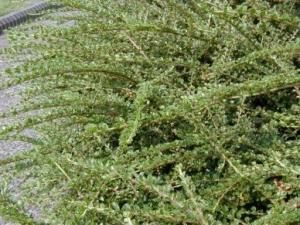 Кизильник горизонтальный (Cotoneaster horizontalis Variegatus ), С3