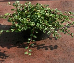 Кизильник Даммера (Cotoneaster radicans Major ), С3