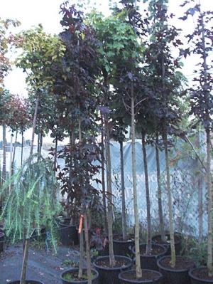 Клен остролистный Кримсон Сентри (Acer platanoides Crimson Sentry), С3 (2-года), 40-50 см