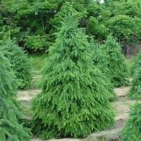 Ель сербская  (Picea omorika) С3