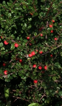 Кизильник Даммера (Cotoneaster radicans Major ), С3