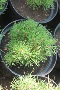 """Сосна горная """"Мугус"""" Pinus mugo """"Mughus"""" ЗКС С3"""