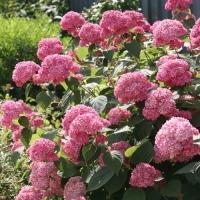 Гортензия древовидная Пинк Аннабель или Инвизибл (Hydrangea arborescens Pink Annabelle or Invincibelle), С3 (2-года), 40-50 см