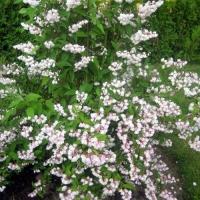 Дейция шершавая махровая (Deutzia scabra Plena), С3 (2-года), 40-50 см