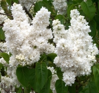 Сирень обыкновенная Мадам Лемуан (Syringa vulgaris Madame Lemoine), С3 (2-года), 40-50 см