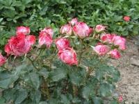 Роза миниатюрная (Rosa miniature Pink), ЗКС С3