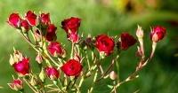 Роза миниатюрная (Rosa miniature Red), ЗКС С3