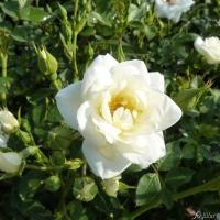 Роза миниатюрная (Rosa miniature White), ЗКС С3