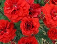 Роза миниатюрная Оранж Бэби (Orange Baby), ЗКС С3