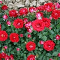 Роза миниатюрная Мейди (Maidy), ЗКС С3