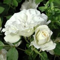 Роза миниатюрная Джет Трейл (Jet Trail), ЗКС С3