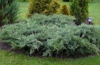 Можжевельник виргинский Грей Оул (Juniperus virginiana Grey Owl) ЗКС С3