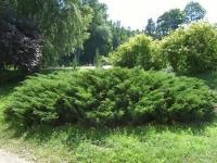 Можжевельник обыкновенный Зил Нью (Juniperus communis Zeal New) ЗКС С3