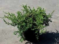 Можжевельник обыкновенный Голдшатц (Juniperus communis Goldschatz) ЗКС С3