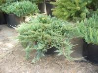 Можжевельник горизонтальный (Juniperus horizontalis Blue Chip) ЗКС С3