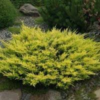 Можжевельник горизонтальный Лайм Глоу (Juniperus horizontalis Lime Glow) ЗКС С3