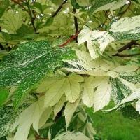 Клен ложноплатановый Саймон Льюис Фререс (Acer pseudoplatanus Simon Louis Freres), С3 (2-года), 40-50 см