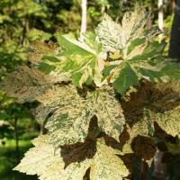 Клён ложноплатановый  Леопольди (Acer pseudoplatanus Leopoldii), С3 (2-года), 40-50 см