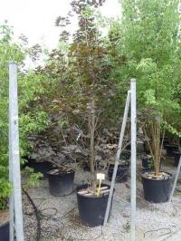 Остролистный клен Фассенз Блэк (Acer platanoides Faassen's Black), С3 (2-года), 40-50 см